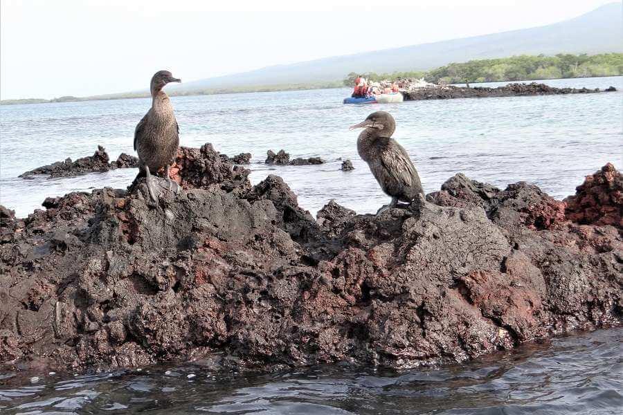 two Galapagos flightless birds.