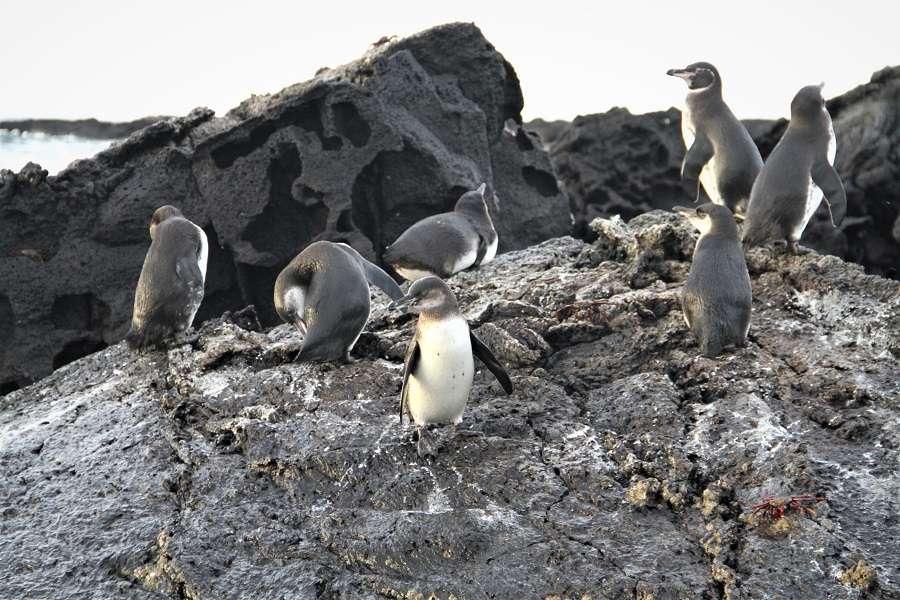 Galapagos penguins birds